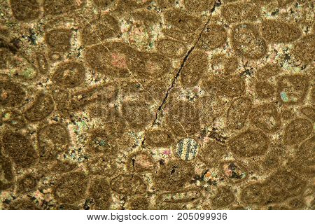 Thin Section Of Paleozoic Limestone Under The Microscope