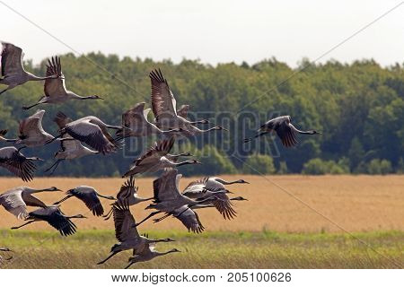Black Storks Fly Over Yellow Fields