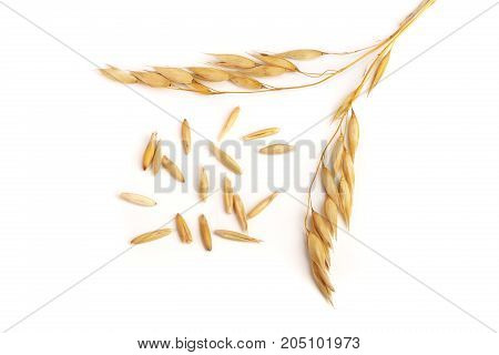 two oat spike with grains isolated on white background.