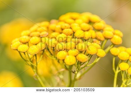 Photo of tansy on field at blurred background