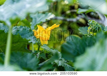 Photo of zucchini plant with flower in afternoon