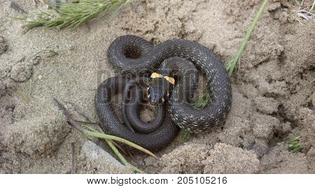Grass snake (lat. Natrix Natrix) is the most common in the temperate latitudes of the Eurasian continent the appearance of real snakes, non-poisonous snakes of the family colubrid.