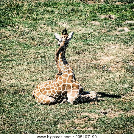 Young Rothschild's giraffe - Giraffa camelopardalis rothschildi - resting in the grass. Animal theme. Photo filter. Beauty in african nature.