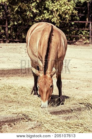 Przewalski's horse feeding. Endangered animal species. Retro photo filter. Beauty in nature.