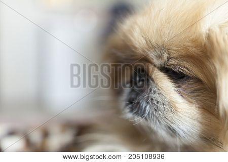 Dog breed Pekingese close-up muzzle beige color