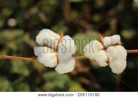 cash crop cotton fields , Cotton farm
