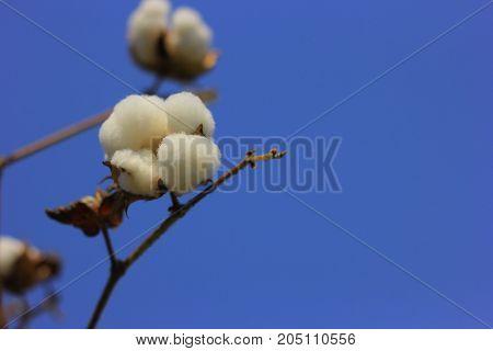 cash crop cotton fields , Cotton farm