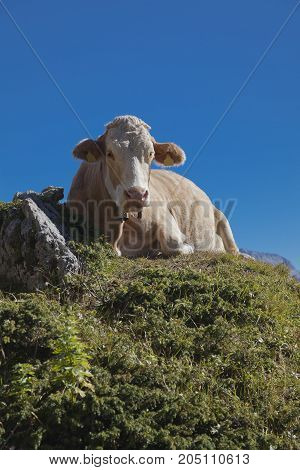 Laying cow on a mountain pasture, view from below