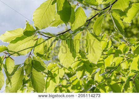 sunny illuminated green foliage at spring time