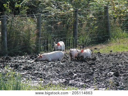 Four Farm Welsh Pig Piglets Playing in the Mud.