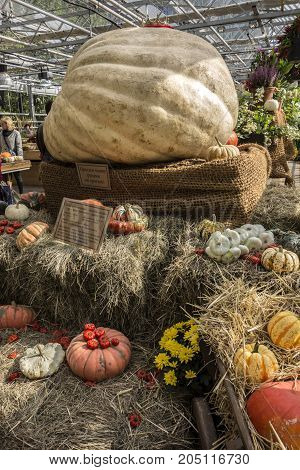 Moscow Russia - September 18 2017: Pumpkin weighing 881849 pounds in the Botanical Garden of the State University. The largest pumpkin in Russia.