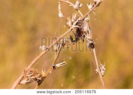 spider on field plants on a bright autumn day around it a cobweb trap for its victims