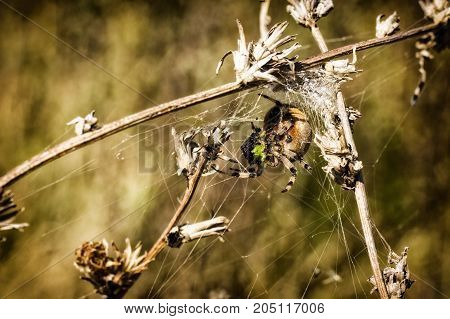 bright predatory spider wove the trap of a beautiful and fantastic wildlife world