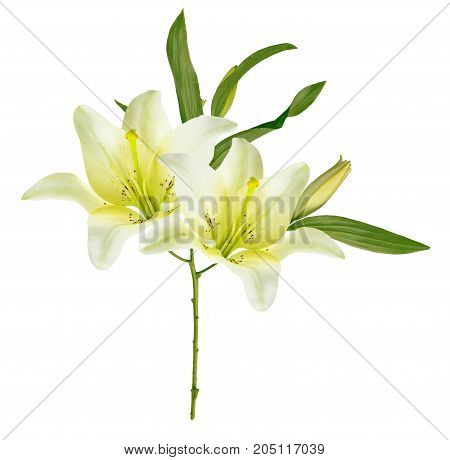 Bright lily flowers isolated on white background.