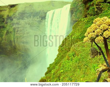 Picture of Icelandic waterfall Skógafoss and flower