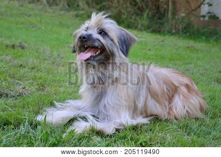 Ong-haired Pyrenean Shepherd In The Meadow