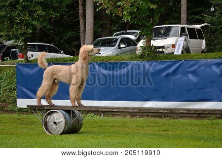 Poodle Goes Over Obstacle