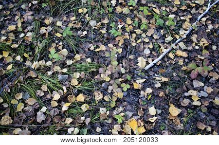 Yellow Birch Leaves On The Ground
