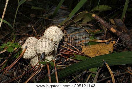 Group Of Fungi Raincoats Among The Pine Needles