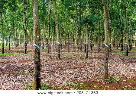 Plantation of palm trees of hevea rubber trees Vietnam