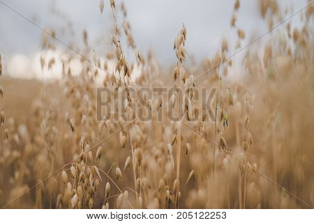 Agriculture. Ears Of Organic Oat In The Field