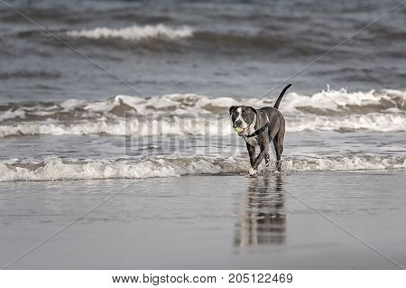 Young American Pitbull Terrier playing on the beach at Amelia Island Florida