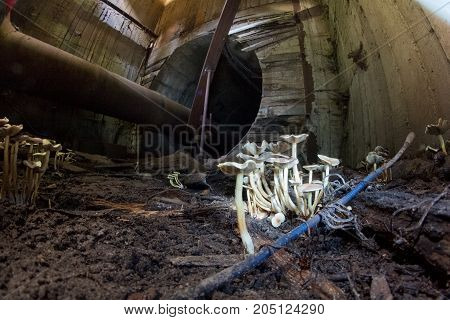 White mushrooms in underground sewer tunnel with pipeline