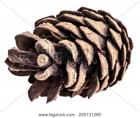 Pine cone isolated on white background with clipping path