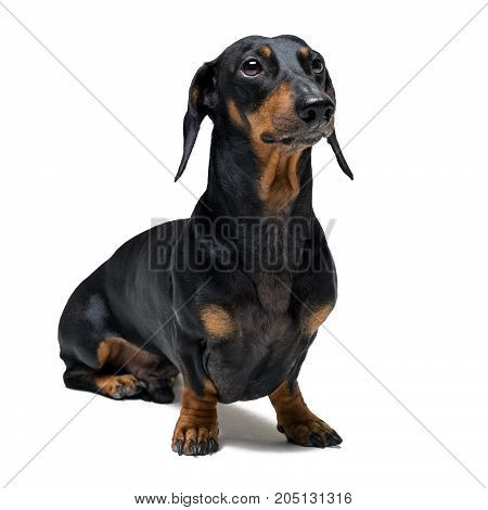 A dog (puppy) of the dachshund male breed black and tan on isolated on white background