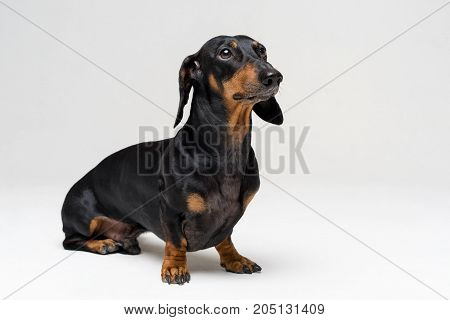 A dog (puppy) of the dachshund breed black and tan on a gray background