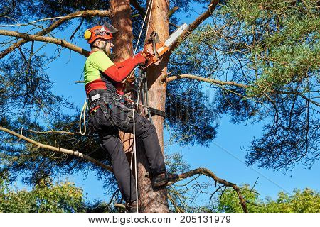 Lumberjack with saw and harness climbing a tree
