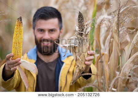 Farmer Showing Corn Cobs