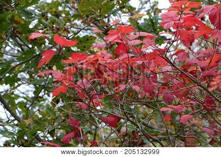 Red leaves on a mapple tree in a garden during autumn