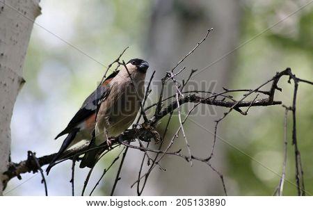 female bullfinch sitting on the branch of a birch, summer, South Ural