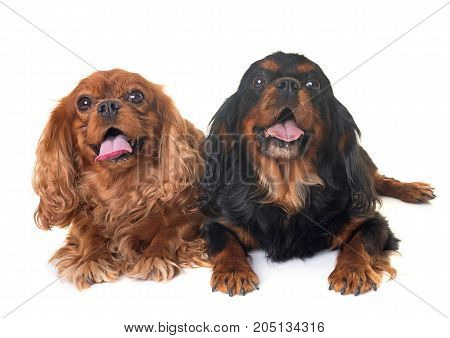 black and tan cavalier king charles in front of white background