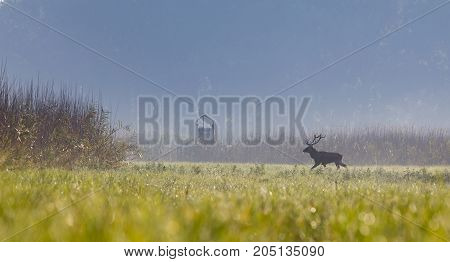 Red deer with antlers walking on meadow with reed around on sunny morning. Wildlife in natural habitat