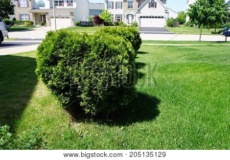 An arborvitae bush (Thuja occidentalis) growing in the front yard of a home in Joliet, Illinois, during May.