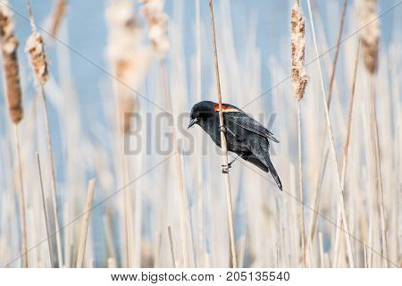 Red-winged Blackbird on a dried cattail on a sunny day