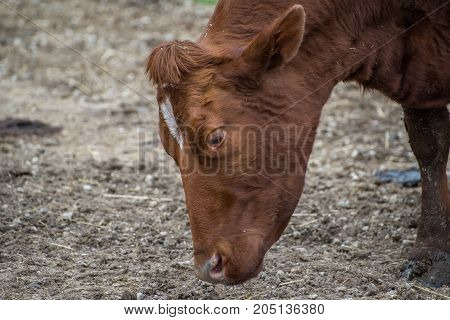 Portrait of a brown cow in a farm