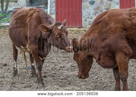Two brown cows in a farm during the day