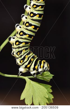 Papilio Polyxens or the Black Swallowtail butterfly caterpillar eating a parsley leaf