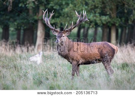 Red deer stag, Cervis elaphus, male with big antlers standing in the grass with trees in the background, in the runting season in Jaegersborg Dyrehave Denmark