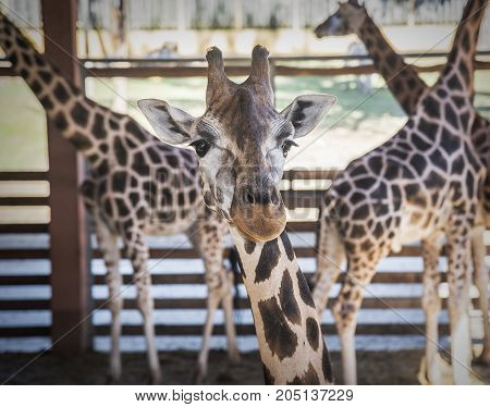 Giraffes in the enclosure of the zoo. Giraffe, one of the tallest animals on Earth.