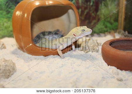 Smal Leopard Gecko