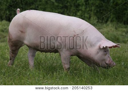 Domestic duroc breed pig head shot at animal farm on pasture