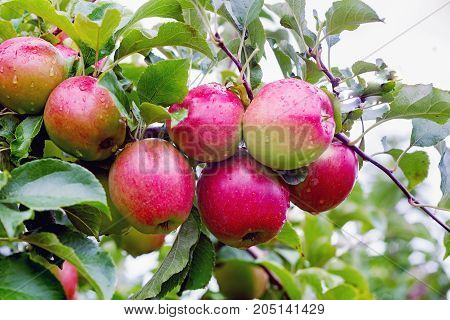 Ligol apple tree branch with apples after rain. A variety bred in Poland more and more appreciated throughout Europe. The apples are harvested in October. They are large or very large covered with a green skin with a blurred striped blush. The flesh of th