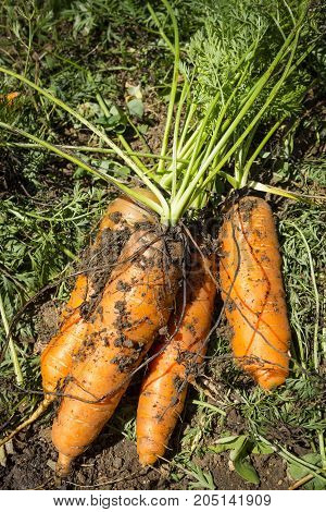 Fresh harvested carrots on the planting bed