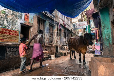 VARANASI INDIA - MARCH 13 2016: Horizontal picture of lonely cow and two people walking in narrow street close to Dashashwamedh Ghat in the city of Varanasi in India