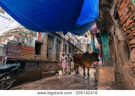 VARANASI INDIA - MARCH 13 2016: Horizontal picture of lonely cow stand in narrow street close to Dashashwamedh Ghat in the city of Varanasi in India