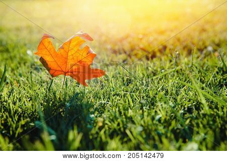 Leaf fall. Yellow maple leaf lies on green grass. Shine of sun